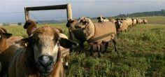 ewe flock coming home