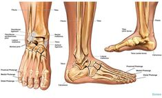 0bb36811c6aaf33dc83f38d26a82cc6e ankle bones ankle joint?b=t 48 best anatomy of the ankle images anatomy, ankle anatomy, ankle