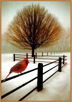 A single cardinal on a snowy day
