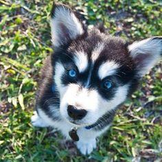 goberian puppy. ( golden retriever and Siberian husky mix ). So cute.