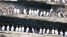 Guillemots nesting on the great Stack
