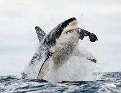 Great White Shark Swallows Seal in Mid-Air...I love great white sharks...but I also love seals