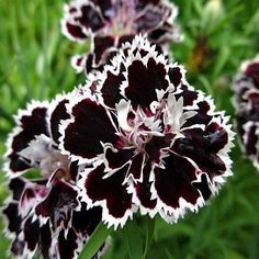 Black/White Velvet Lace Carnation Flower Seeds / Dianthus / Perennial by YouMakeMeSmileSeeds on Etsy Dianthus Perennial, Dianthus Flowers, Flowers Perennials, Planting Flowers, Dark Flowers, Exotic Flowers, Beautiful Flowers, Nice Flower, Poppies