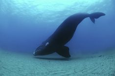 This takes my breathe away. Beautiful Right Whale.