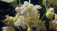Die Lindenblüte solltest du auf keinen Fall verpassen - von jacinta lluch valero [CC-BY-SA-2.0]