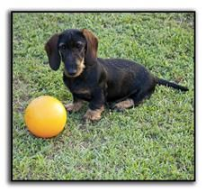 Wire Haired Dachshund Puppies For Sale Wirehaired Dachshund