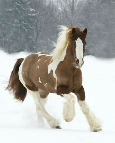 Irish Cob horse♡