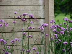 verbena bonariensis - Self seeds, sun to part shade with occasional summer water. to 6' tall 1-2' wide. Frost hardy 0, USDA zone 7