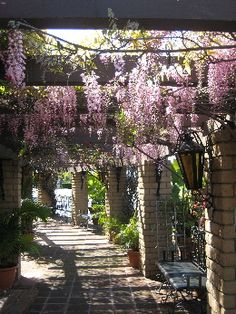 Wisteria Vine on Pergola.