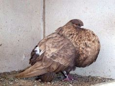 Racing Pigeon Lofts, The Ramseys, Racing Pigeons, Chickens And Roosters, Loft Design, Happy Family, Birds, Pakistan, Animals