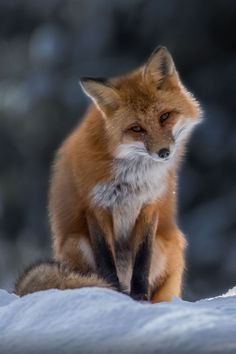 Ponderation — luxuriousimpressions: Red Fox Pondering By. Animals And Pets, Funny Animals, Cute Animals, Wild Animals, Baby Animals, Beautiful Creatures, Animals Beautiful, Wolf Hybrid, Fox Pictures