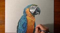 Drawing a blue-and-gold macaw, mixed media on gray paper by Marcello Barenghi - Italian Art.