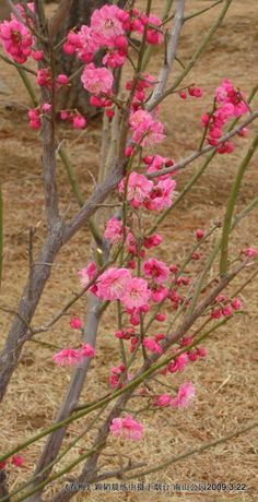 Plum tree flower by katy Fruit Plants, Fruit Trees, Trees To Plant, Beautiful Gardens, Beautiful Flowers, Apricot Blossom, Plum Tree, Spring Sign, Tree Leaves