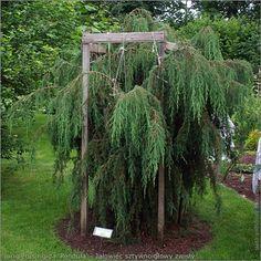 Conifer- juniper, Juniperus rigida 'Pendula' - Jałowiec sztywnoigłowy.