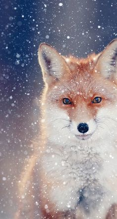 Cropped shot of red fox in snow - Original photo by Kichigin - https://i.pinimg.com/originals/b1/56/1f/b1561f5c82e4b096c6ce56b386a3e340.jpg