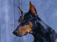 The Doberman Pinscher is a medium sized dog with a square shaped body. Description from doggielife.com. arab dog