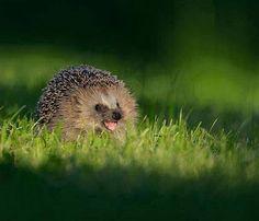 Happy hedgie