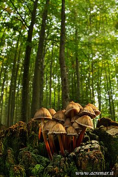 Clustered Bonnet (Mycena inclinata) ~ By acremar.it