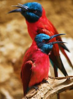 Northern Carmine Bee-eaters --