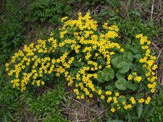 Kalvleka, Caltha palustris - Blomväxter - NatureGate