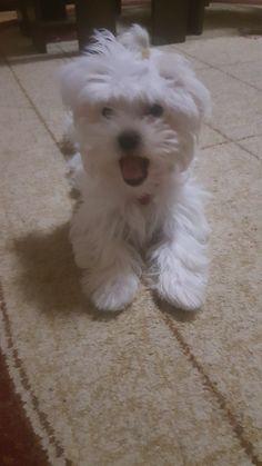 Maltese Rea at 3 month Maltese, Dogs, Animals, Animales, Animaux, Pet Dogs, Doggies, Animal, Animais