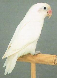 agapornis personata albino