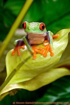 Tree Frog Art, Red Eyed Tree Frog on Leaf, Frog Art