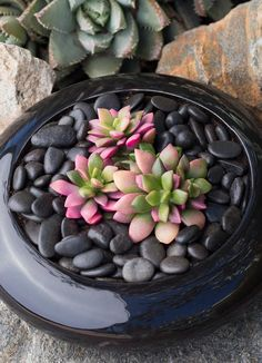 Anacampseros is a beautiful succulent that can bright up your home or outdoor dish garden. Here are some care tips to help you grow this colorful succulent.