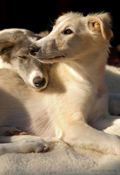 Talisman Silken Windhounds Dresden and Ilsa Pet Dogs, Dogs And Puppies, Dog Cat, Doggies, Beautiful Dogs, Animals Beautiful, Cute Animals, Dog Breeds List, Wild Dogs
