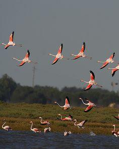 Flamingos in Flight.   xox