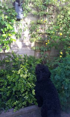 Fascinated by the twittering of young Great Tits in Boss's garden 20150519 Great Tit, Australian Labradoodle, Garden, Plants, Lawn And Garden, Gardens, Plant, Outdoor, Home Landscaping