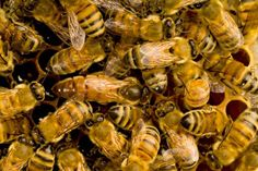 Queen Bees and Nuc's -munro honey- may not ship. do they have buckfest bees? Italian bees a good second choice. Bee Problem, Getting Rid Of Bees, Home Remedies, Natural Remedies, Bees And Wasps, Drought Tolerant Plants, Queen Bees, Bee Keeping, How To Get Rid