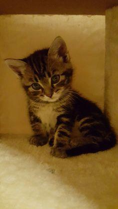 #kitten #jack #bengala #british #tabby