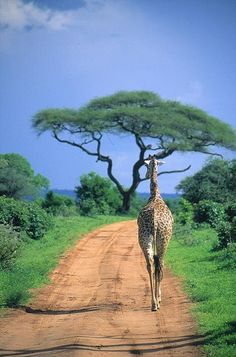 Giraffe walking away. Tarangire National Park, Tanzania