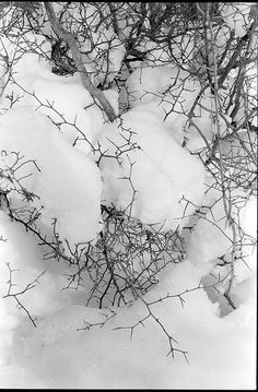 hawthorn twigs in snow by nathan_rank, via Flickr