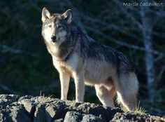 Qwayaciik - Wolf Photo by Marcie Callewaert — National Geographic Your Shot