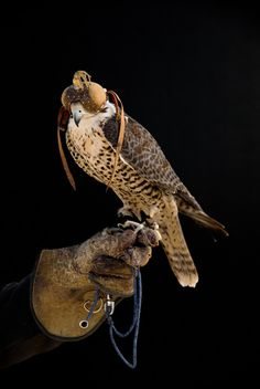 Portraits of falcons by Bill Sallans