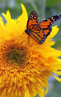 Monarch lights on a bright and sunny flower Butterfly Species, Monarch Butterfly, Beautiful Butterflies, Beautiful Flowers, Flying Flowers, Butterfly Kisses, All Nature, Mellow Yellow, Beautiful Creatures