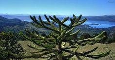 La araucaria o pehuén (Araucaria araucana), también llamada piñonero, pino araucaria, pino chileno o pino de brazos, es una especie arbórea perteneciente al género de coníferas Araucaria de la familia Araucariaceae. Es un árbol nativo de Chile y Argentina, que hoy en día se encuentra distribuido en zonas muy restringidas de la cordillera de los Andes y, en menor grado, en la cordillera de la Costa chilena.