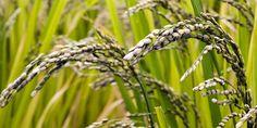 El resultado final de la investigación sugiere que la expresión del gen en las semillas puede tener aplicaciones prometedoras en la mejora de los niveles de Lys en arroz híbrido. Investigadores chinos han conseguido biofortificar en aminoácidos esenc