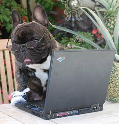 """""""I said I'd come in when I finish this Chapter!"""", a frustrated French Bulldog Writer, photo By Rosine Siegfried-Martin"""