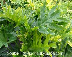 Hope Philodendron Philodendron bipinnatifidum Hope The easy-care Hope philodendron is a split leaf philodendron variety that only grows to 4 feet - an ideal tropical accent for any size South Florida yard.
