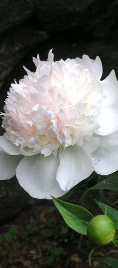 Gorgeous Peony - peonies are just the most beautiful bloom and the dark background makes them pop...
