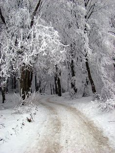 trees heavy with snow --I want to drive or walk through a winter forest, could we have fairy lights too? =)