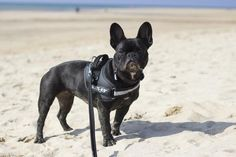 Pepper the French Bulldog at the beach!   All the Frenchies