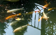 ryby w ogrodzie
