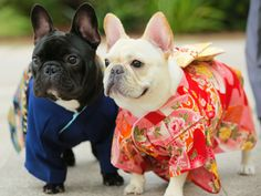 French Bulldogs in Kimonos Animals And Pets, Baby Animals, Funny Animals, Cute Animals, Dog Day Afternoon, Bullen, Pet Costumes, Animal Fashion, New Puppy