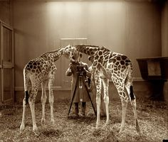 1926. Washington, D.C. Photographing the photographing of giraffes at the National Zoo. 4x5 glass negative, National Photo Company.