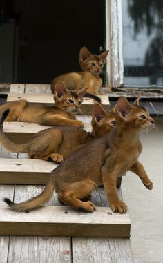 best images, pictures and photos ideas about abyssinian kitten - most affectionate cat breeds Kittens Cutest, Cats And Kittens, Kitty Cats, Ragdoll Kittens, Tabby Cats, Funny Kittens, Bengal Cats, White Kittens, Black Cats