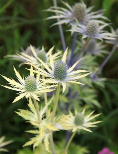 Eryngium 'Neptune's Gold' - Thistle-like cones of bright blue flowers are surrounded by a ruff of spiky bracts, which turn from silvery blue at their base to gold at their tips. These form on blue stems that are clothed with yellow foliage, so the overall effect is quite colourful. This is a sun-loving plant that can be used in herbaceous borders or prairie-style planting schemes. The flowerheads are long-lasting and can be dried and added to arrangements.
